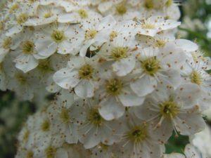 シモツケの花5月